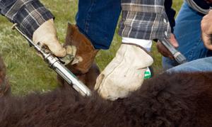 Livestock Vaccination