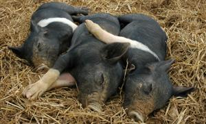 Pig Care