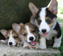 Cardigan Welsh Corgies