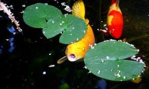 Pond Fish Feeding